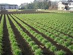 田奈で栽培しているビール麦